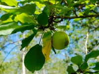 apple-on-tree